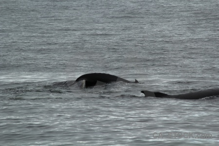 Day 6 antarctica antarctic peninsula adelaide island whale.
