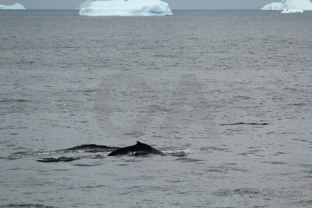 Day 6 marguerite bay antarctica cruise south pole whale.