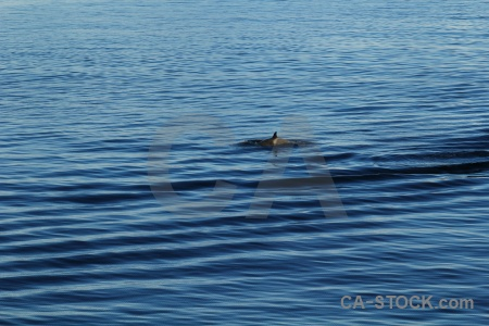 Day 6 orca antarctica animal ripple.