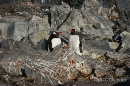 Day 8 animal south pole gentoo antarctica.
