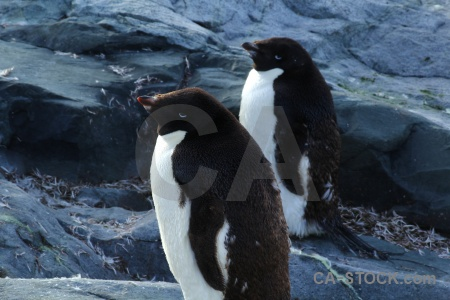 Day 8 antarctic peninsula petermann island adelie penguin.