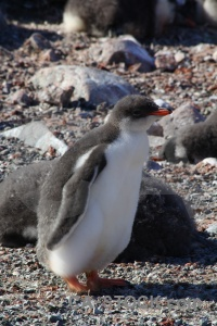 Day 8 antarctic peninsula rock gentoo petermann island.
