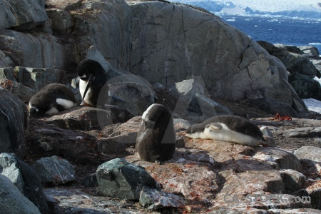 Day 8 antarctica cruise antarctic peninsula south pole chick.