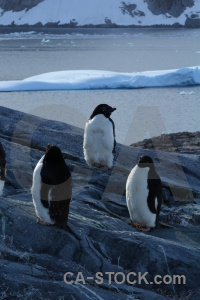 Day 8 antarctica petermann island antarctic peninsula animal.