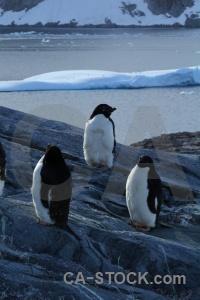 Day 8 antarctica petermann island antarctic peninsula animal.