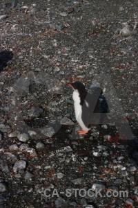 Day 8 chick wilhelm archipelago petermann island penguin.
