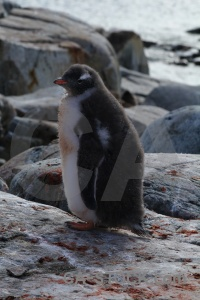 Day 8 gentoo antarctic peninsula antarctica cruise south pole.
