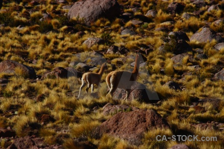 Deer atacama desert rock bush el tatio.