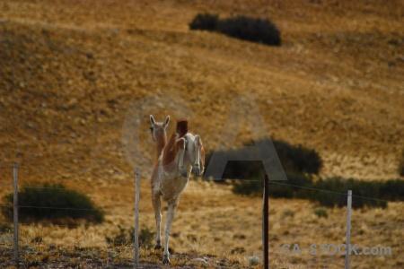 Deer field animal vicugna fence.
