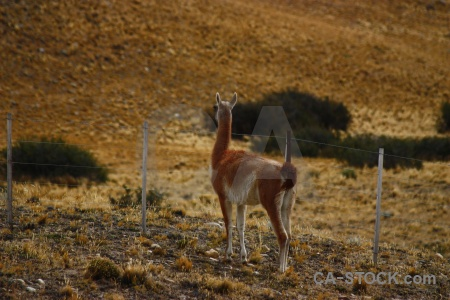 Deer vicugna south america fence argentina.