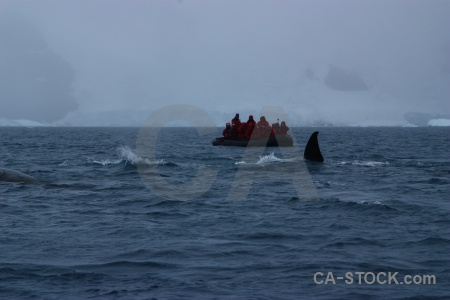 Dinghy whale antarctic peninsula water penola strait.