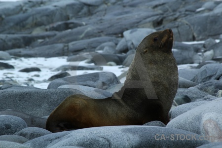Dorian bay south pole fur seal palmer archipelago animal.