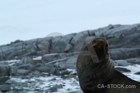 Dorian bay wiencke island seal palmer archipelago antarctica cruise.
