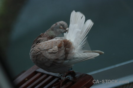 Dove bird animal pigeon.
