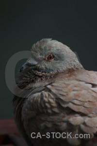 Dove bird black animal pigeon.
