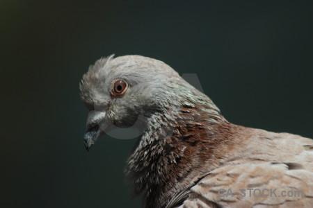 Dove pigeon animal bird black.