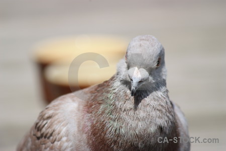 Dove pigeon animal bird gray.