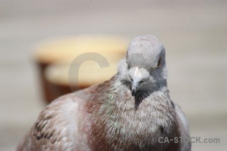 Dove pigeon animal bird gray.