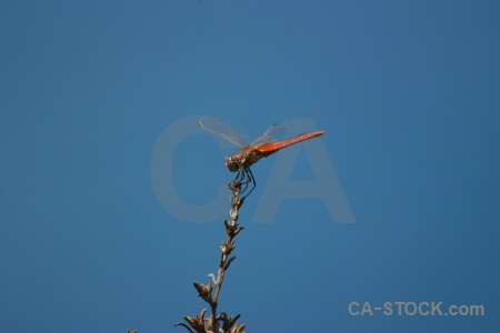 Dragonfly javea branch wing sky.