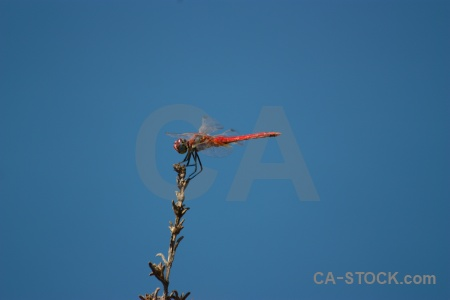 Dragonfly sky wing branch javea.