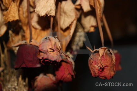 Dried orange flower rose plant.