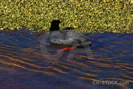 Duck chile pond weed atacama desert water.