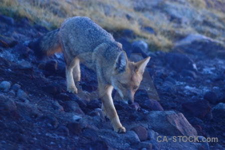 El tatio animal atacama desert chile fox.