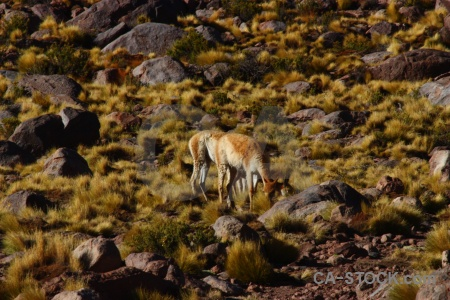 El tatio atacama desert animal south america deer.