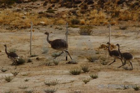 Emu ostrich field argentina rhea.