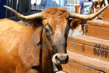 Europe animal horn bull running brown.