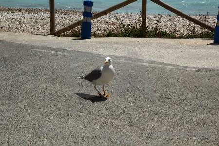 Europe animal javea spain seagull.