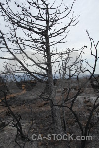 Europe ash tree spain burnt.