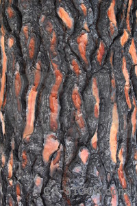 Europe bark texture burnt spain.