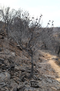 Europe javea burnt ash branch.