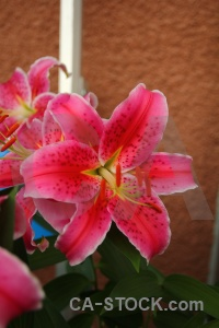 Europe karlskrona lily flower plant.