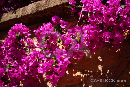 Europe plant bougainvillea pink flower.