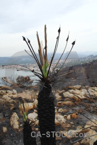 Europe plant javea ash burnt.