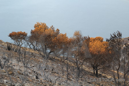 Europe tree ash javea burnt.