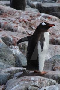 Feces petermann island antarctica cruise wilhelm archipelago chick.