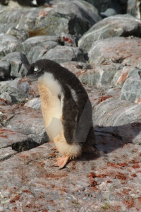 Feces wilhelm archipelago antarctic peninsula south pole gentoo.