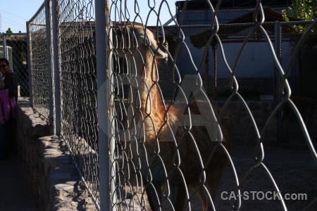 Fence animal arequipa peru south america.
