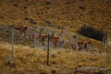 Fence argentina animal patagonia south america.
