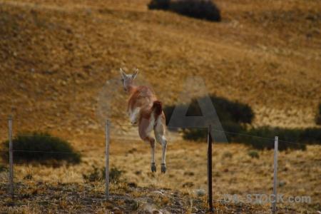 Fence vicugna deer argentina vicuna.
