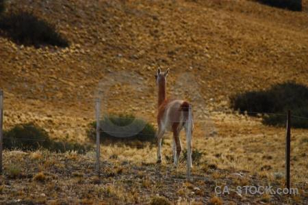 Field patagonia deer vicugna south america.
