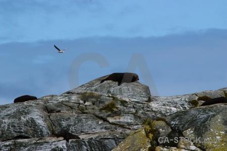Fiordland seal doubtful sound rock sky.