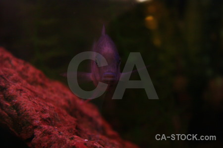 Fish animal red black.