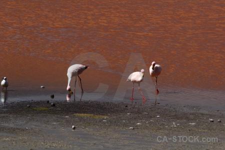 Flamingo altitude animal laguna colorada andes.