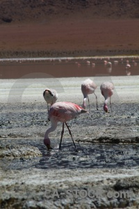 Flamingo altitude salt water lake.