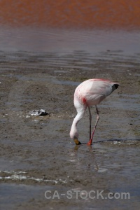 Flamingo altitude south america bolivia andes.