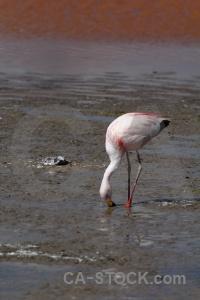 Flamingo altitude south america bolivia andes.